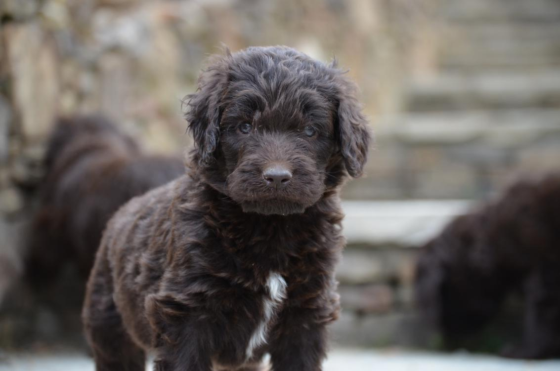 Chocolate-Newfiedoodle-puppy (15).jpeg