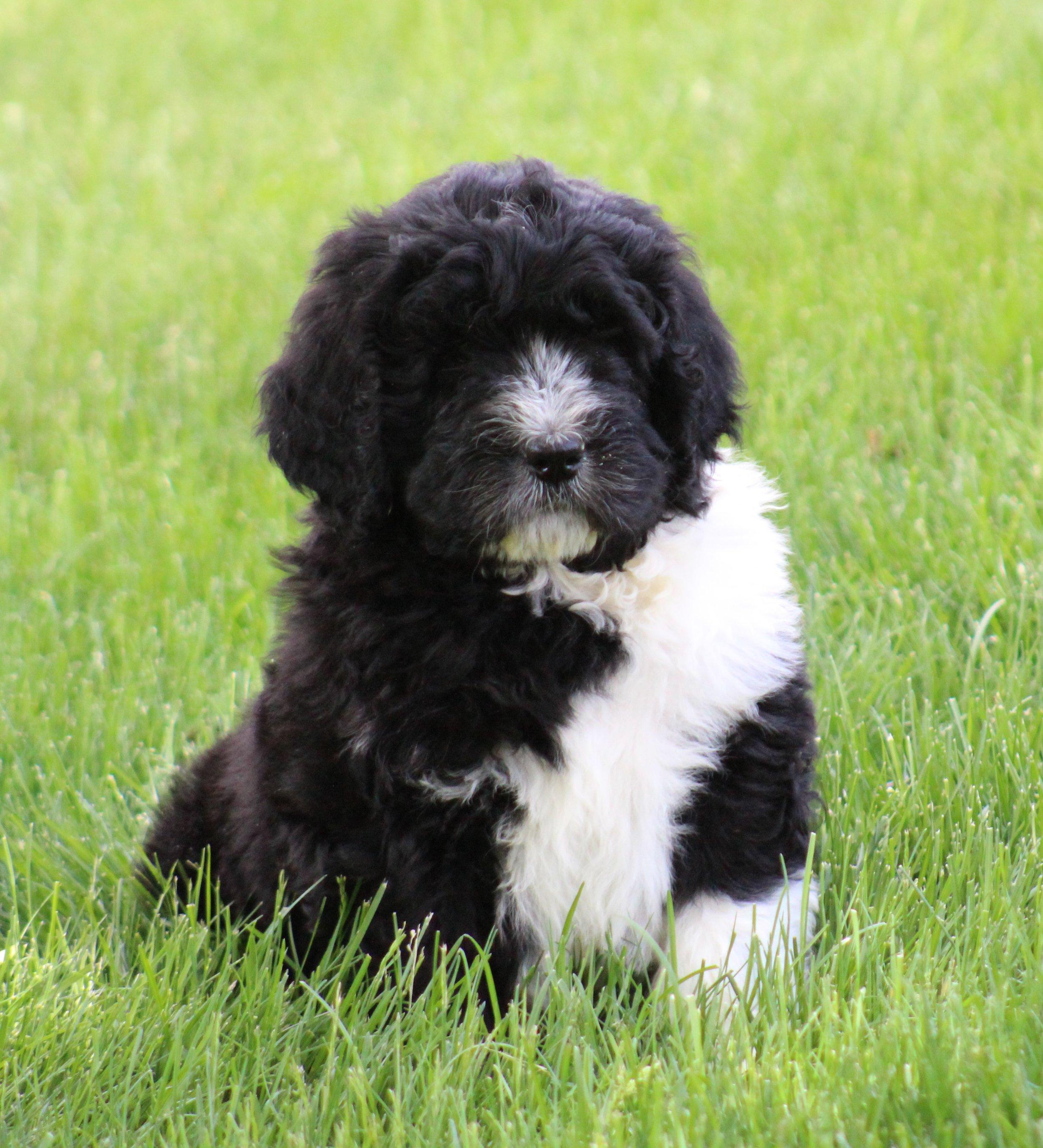 Chocolate-Newfiedoodle-puppy (6).jpeg