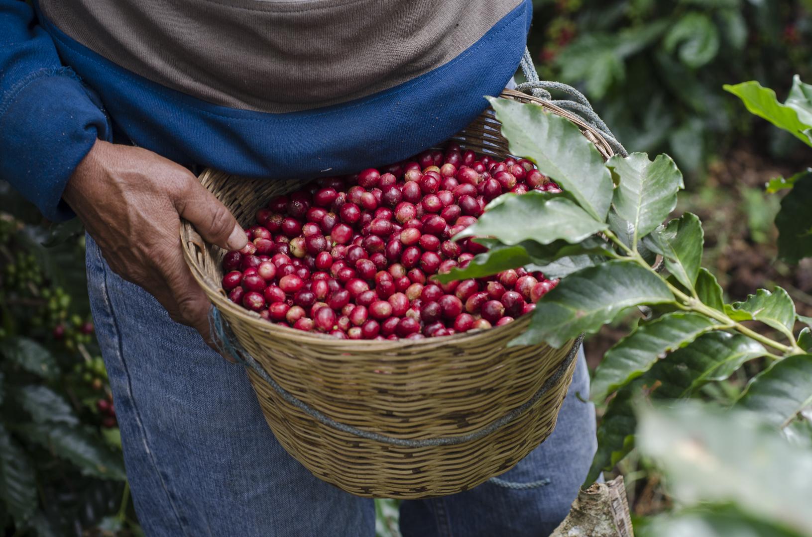 Cafeología Productores de café