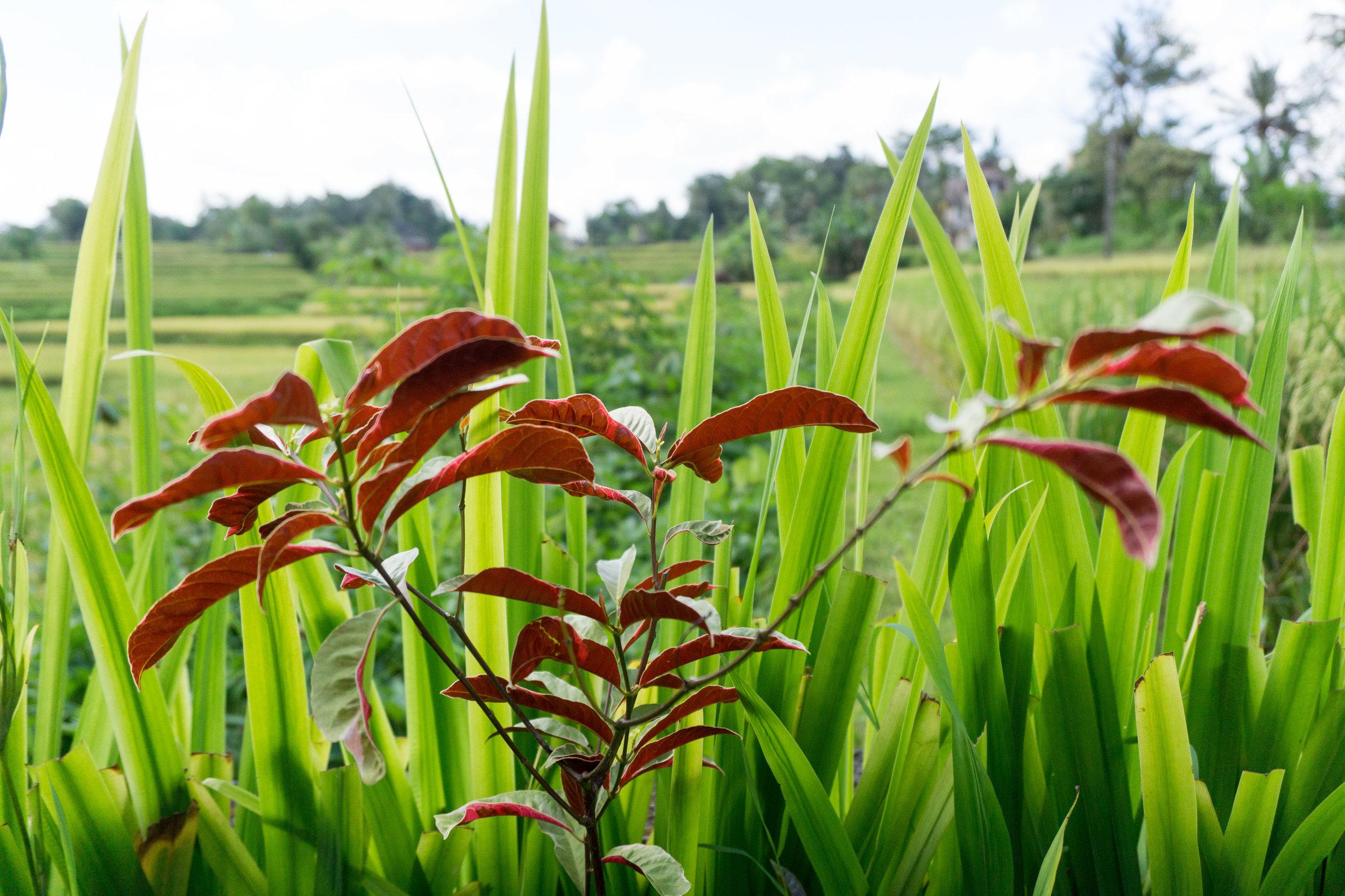 Amongst the rice paddies