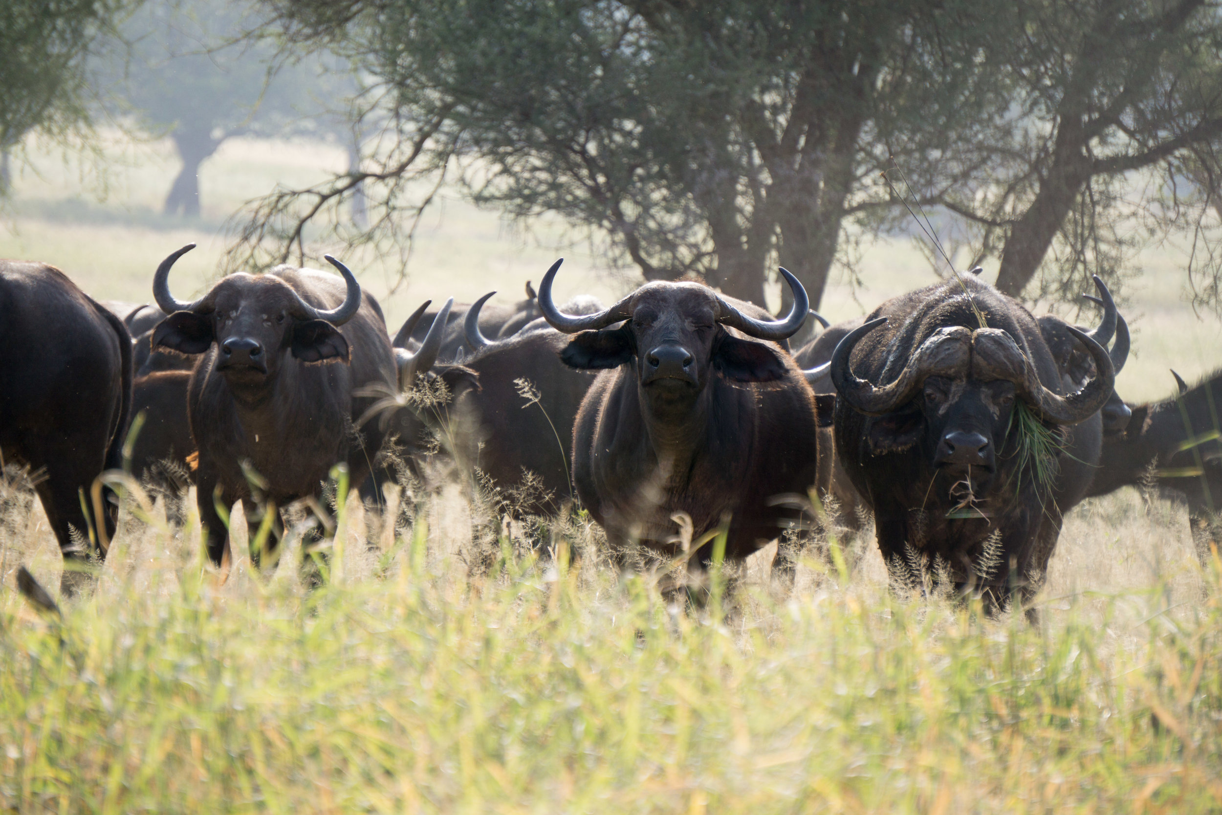 Water buffaloes giving us the stare down.