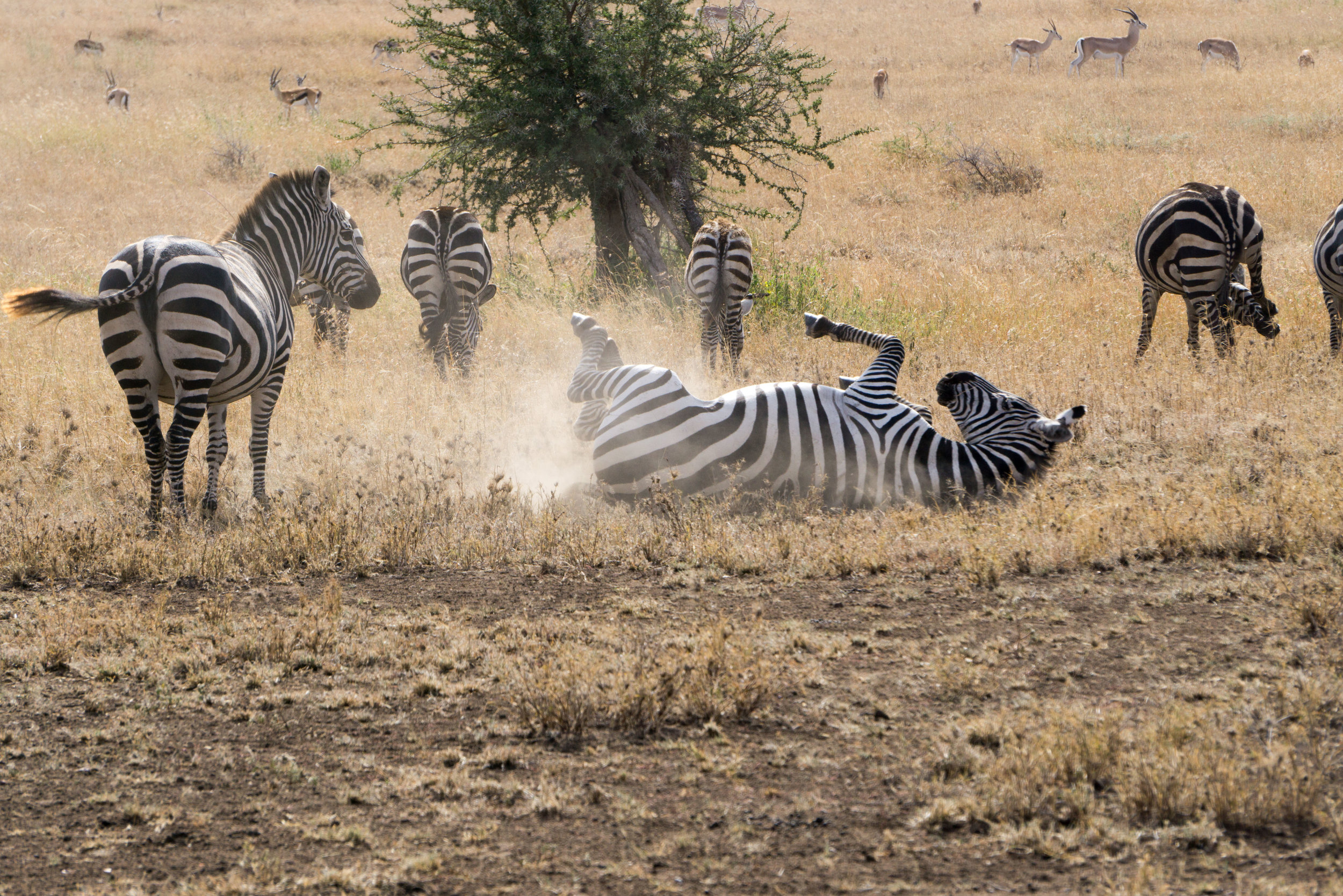 When a zebra has an itch - they scratch it.