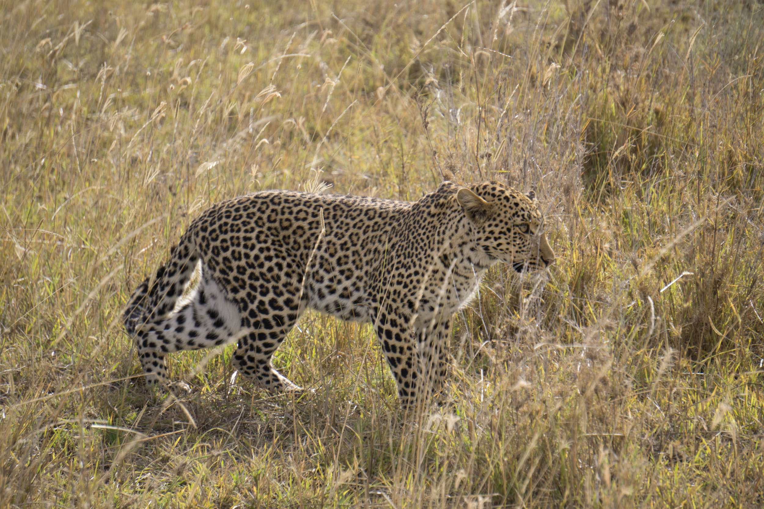 Leopard ready to pounce in the bush.