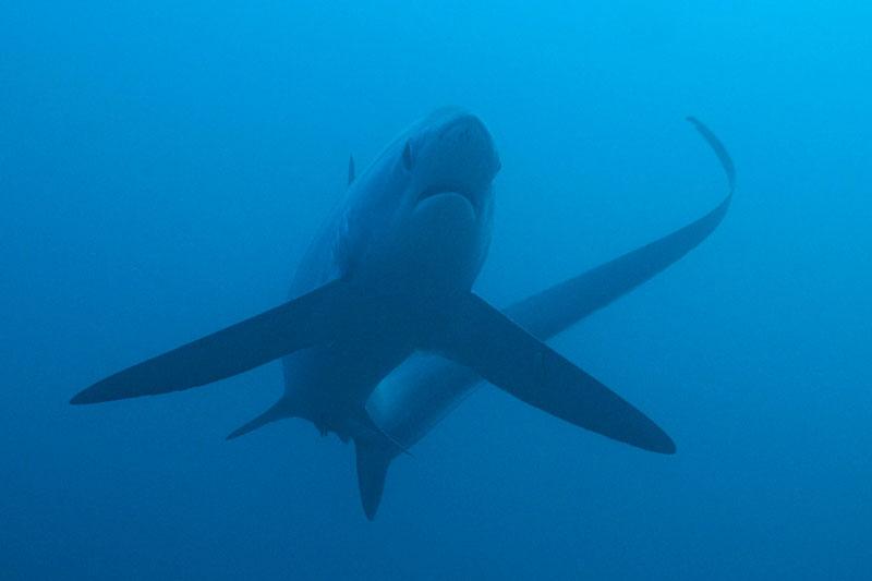 PHL_Malapascua-UW-Thresher-Sharks-©13-Thomas-Baechtold-2270a.jpg