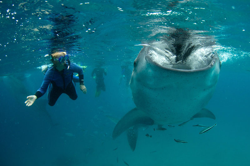 Freddy gazes into the gulplng mouth of a Whale shark as it feeds.