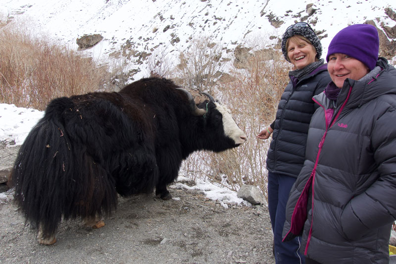 "Ruth and Wendy hanging ""Kevin"" the Yak in Husing Valley while in search for snow leopards."