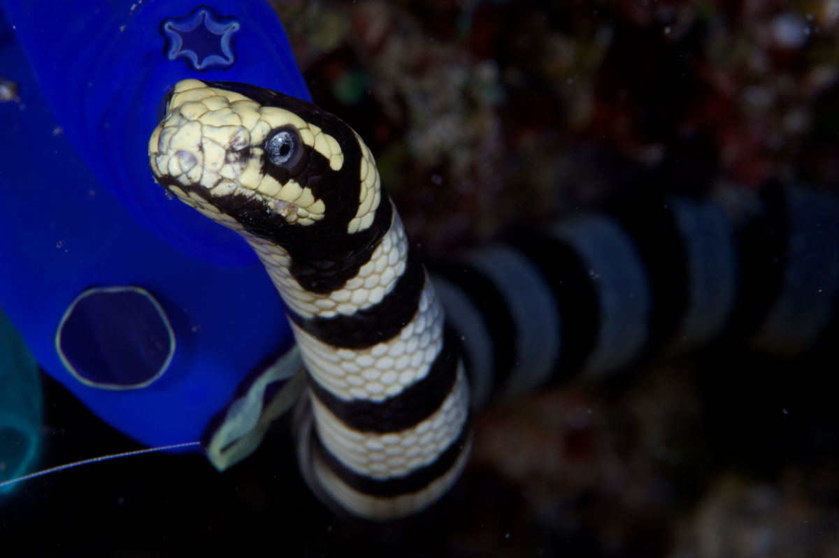 IDN_Banded-Sea-Snake-©13-Thomas-Baechtold-0701.jpg