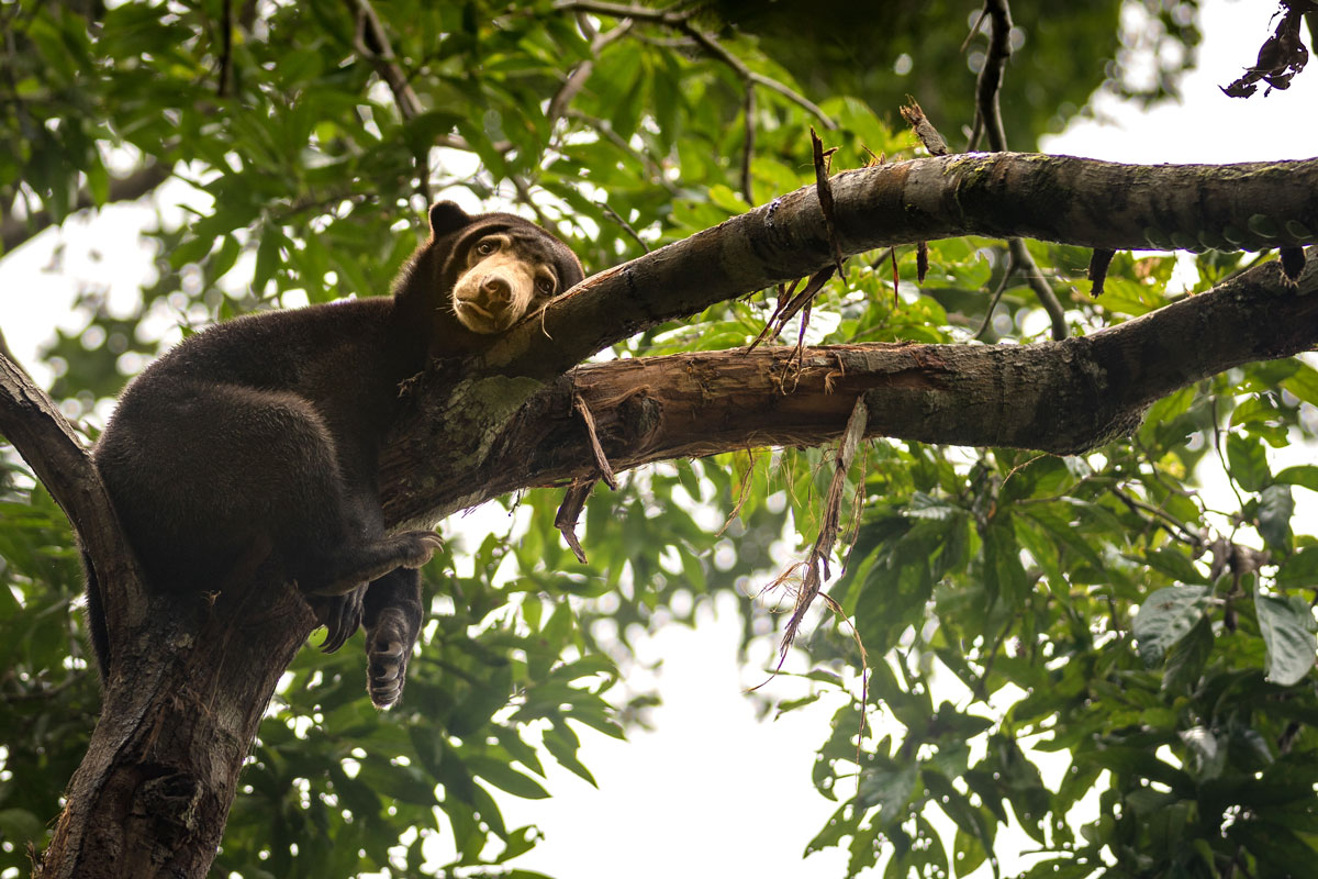 MYS_Borneo-Sun-Bear-©-Adobe-Stock_140770672.jpg