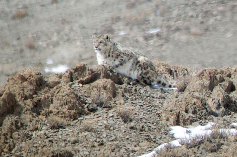 IND_India-Snow-Leopards-©-Amit-Sankhala-003.jpg