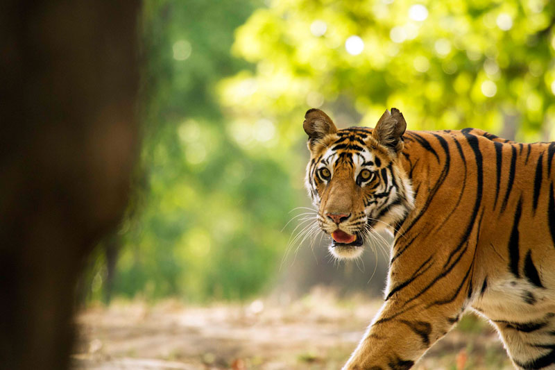 IND_India-National-Parks-Tigress-Walking-©-Indajit-Latey-010.jpg