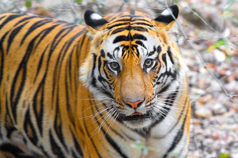 IND_Indian-National-Parks-Wild-Dog-©-Amit-Sankhala-003.jpg