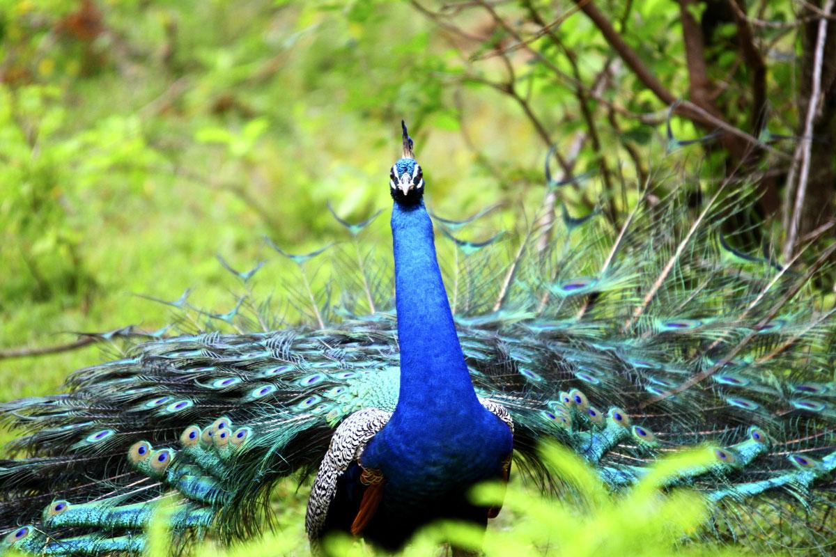 LKA_Peacock-©-Sri-Lanka-Instyle.jpg