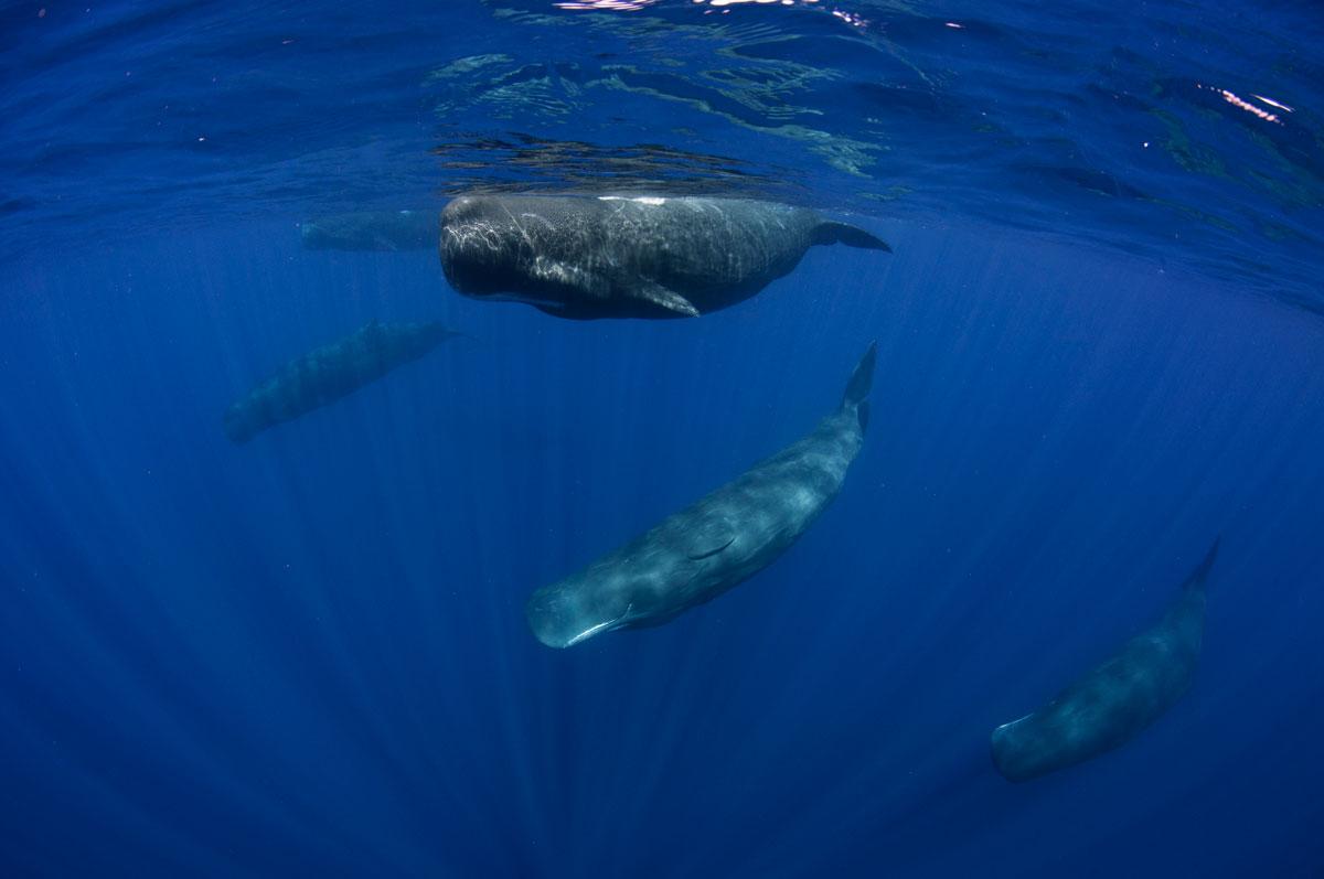 LKA_Sperm-whale-pod-©-Sri-Lanka-Instyle.jpg