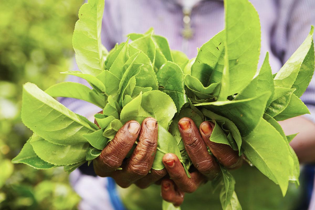 LKA_Tea-Pickers-Hands-©-Sri-Lanka-Instyle.jpg