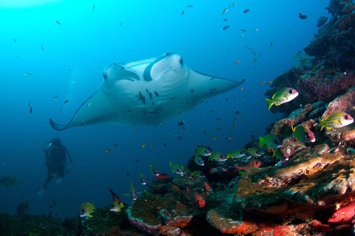 MDV_Maldives-UW-Manta-Rays-©16-Thomas-Baechtold-0545.jpg