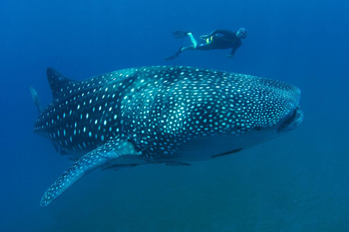 MLV_Maldives-UW-Whale-Shark-©15-Thomas-Baechtold-0192.jpg