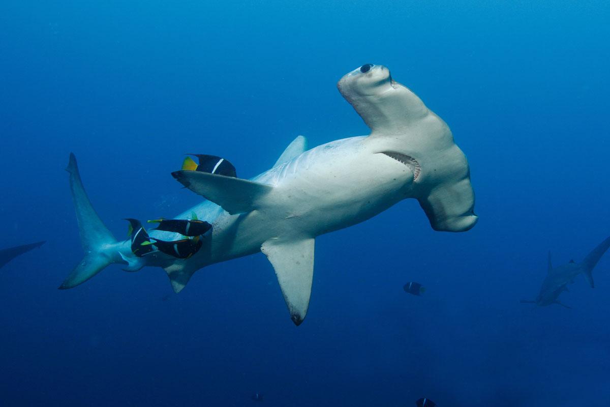 CRI_Cocos-Island-Underwater-©-Avi-Klapfer--2011edit.jpg