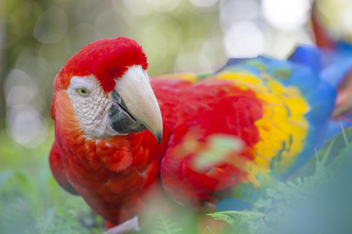 CRI_Costa-Rica-Scarlet-Macaw-©-Adobe-Stock.jpg