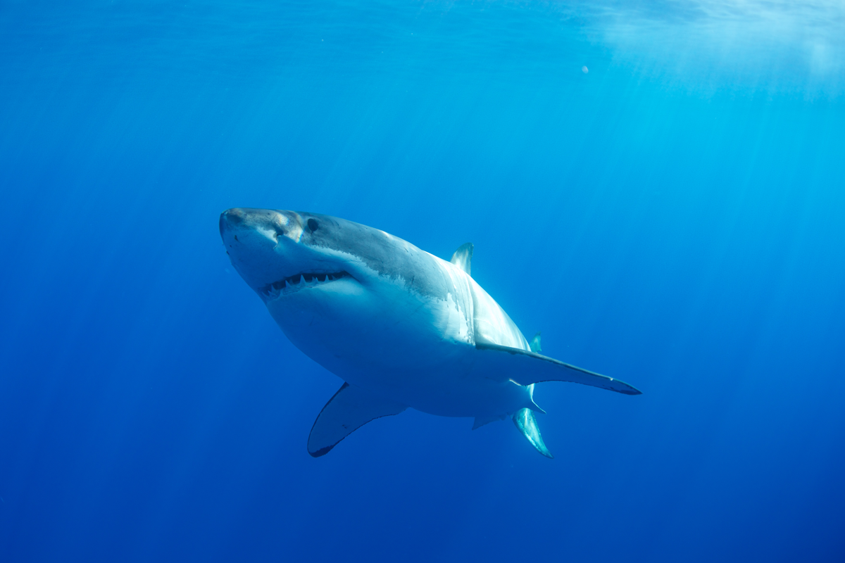 MEX_Guadelupe-UW-Great-White-Sharks-©13-Thomas-Baechtold-33.png