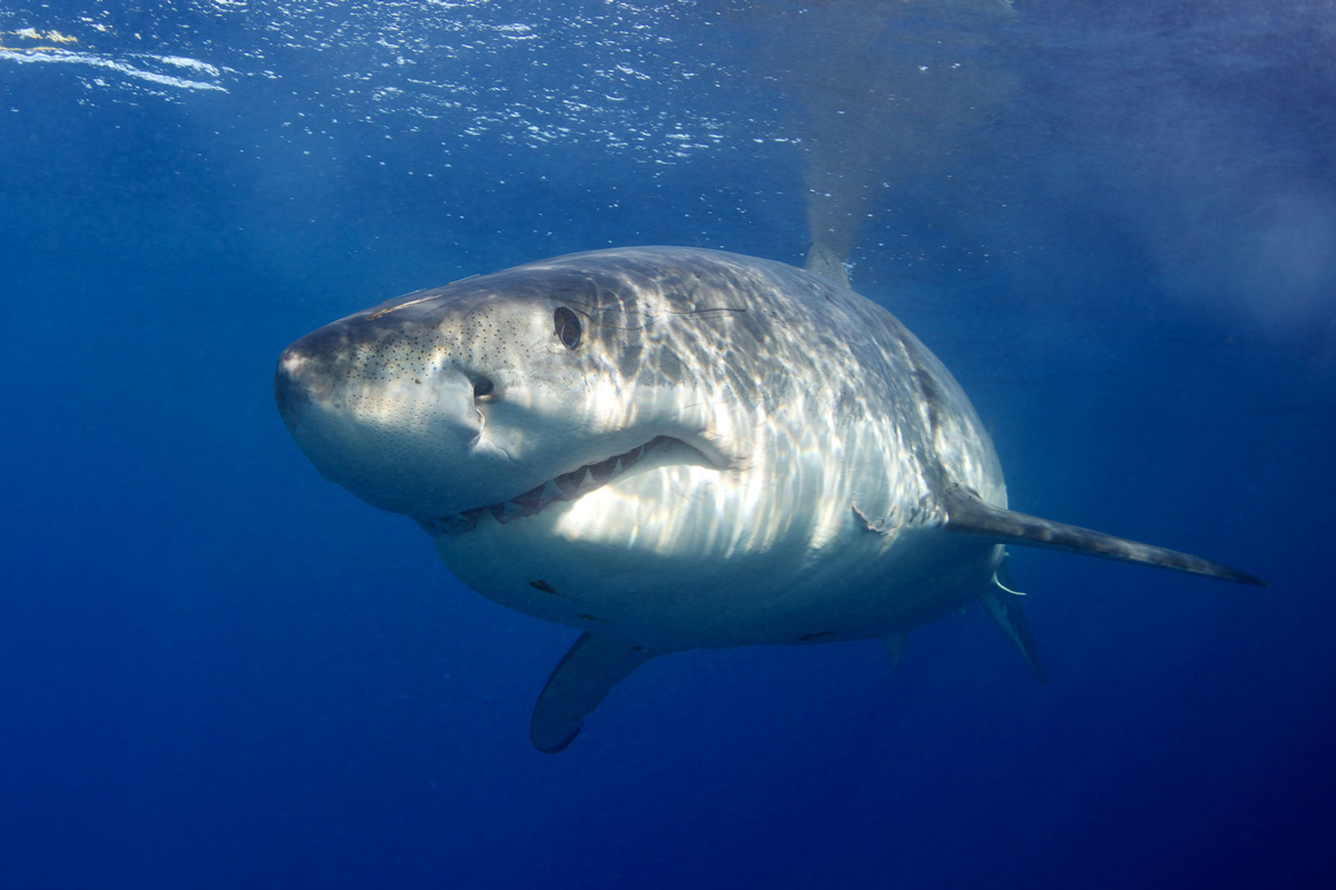 MEX_Guadelupe-UW-Great-White-Sharks-©13-Thomas-Baechtold-242.png