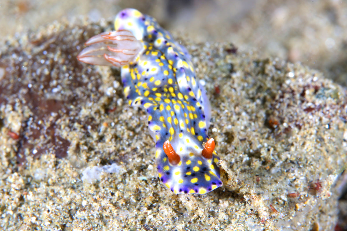 IDN_Ambon-Muck-diving-uw-©17-Thomas-Baechtold-921.jpg