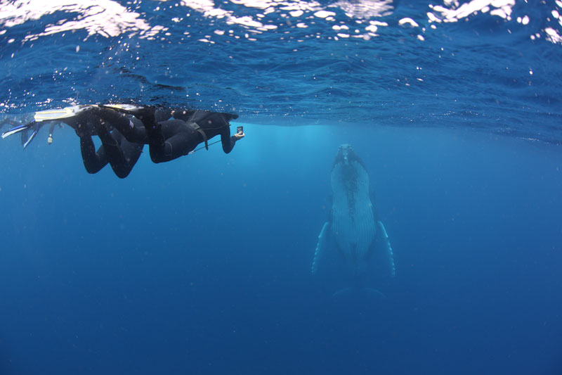 Marine Biologist  Robin Aiello guiding snorkelers towards a Humpback whale.