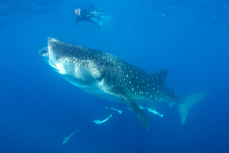 Lisa snorkelling with one of the many Whale sharks seen that day in clear blue water, Mexico.