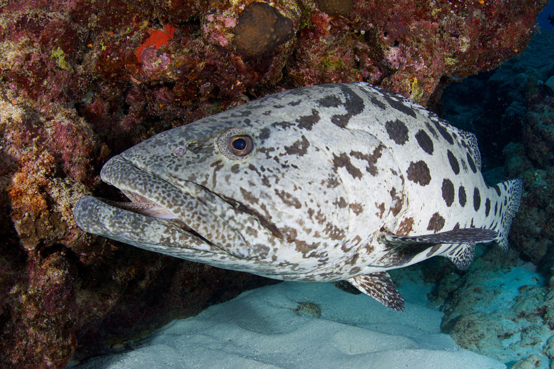 AUS_Great-Barrier-Reef-UW-Cod-Hole-©15-Thomas-Baechtold-0901.jpg