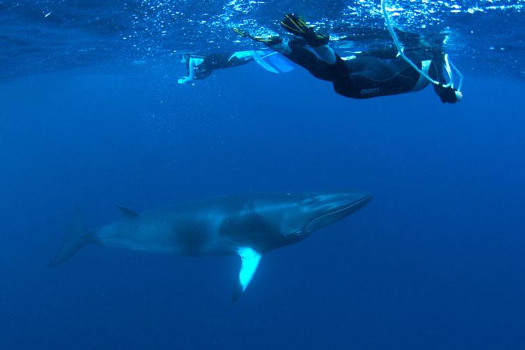 AUS_Great-Barrier-Reef-UW-Dwarf-Minke-Whales-©12-Thomas-Baechtold-0046.jpg