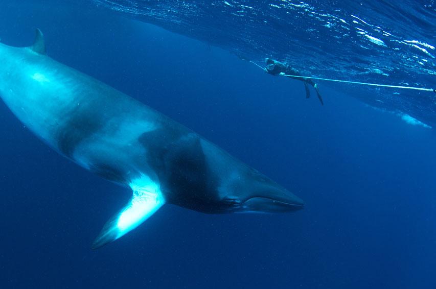 AUS_Great-Barrier-Reef-UW-Dwarf-Minke-Whales-©12-Thomas-Baechtold-0154.jpg