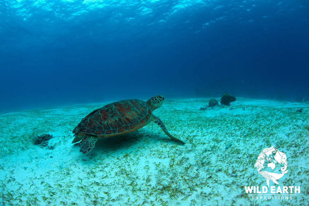 Green Turtle - Philippines - Wild Earth Expeditions