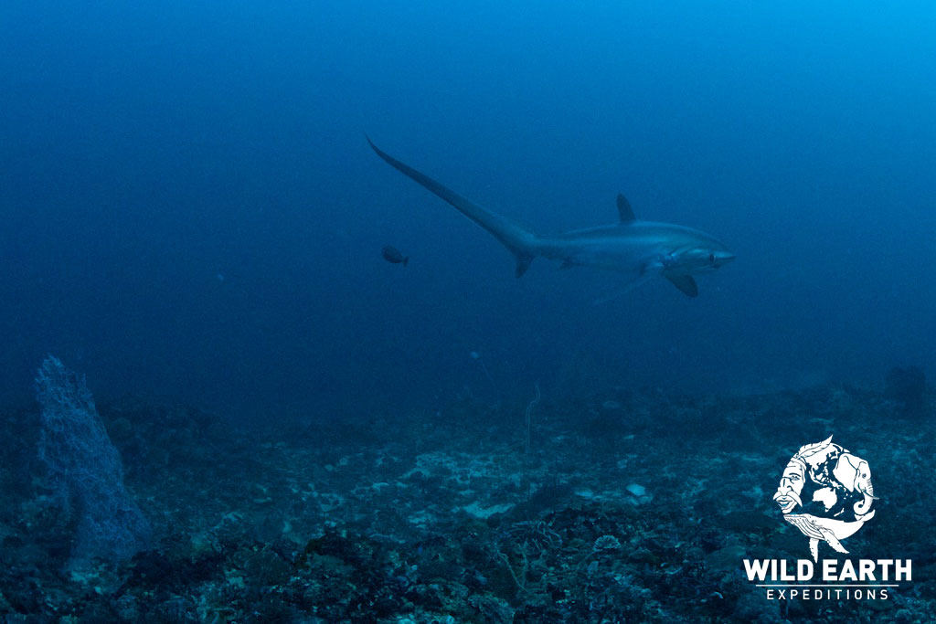 Thresher Sharks, Malapascua - Philippines - Wild Earth Expeditions