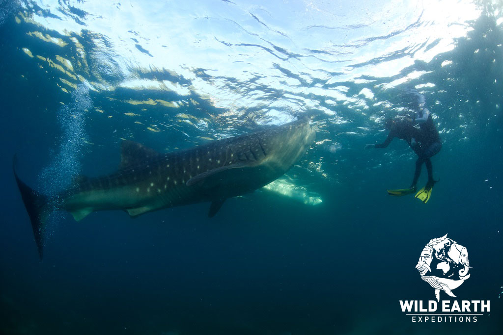 'Eye to eye' with a Whale Shark - Philippines - Wild Earth Expeditions