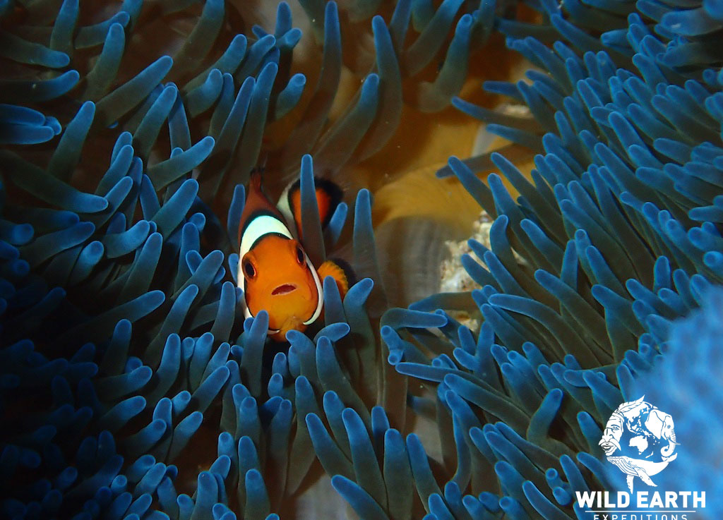 Clown fish - Philippines - Wild Earth Expeditions