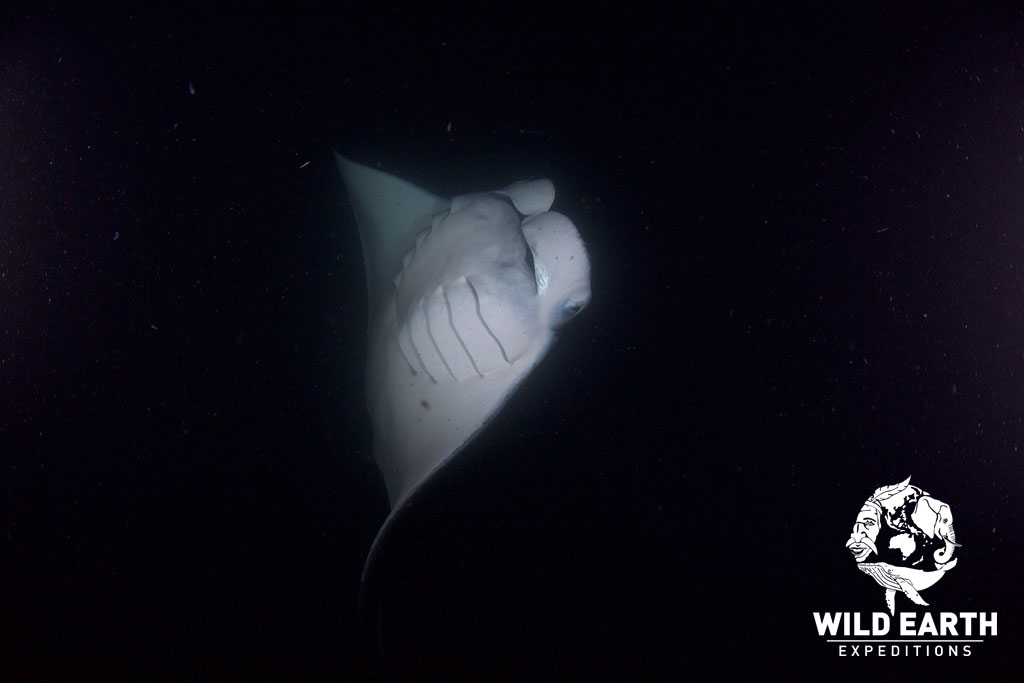 Manta Rays by night - Palau - Wild Earth Expeditions