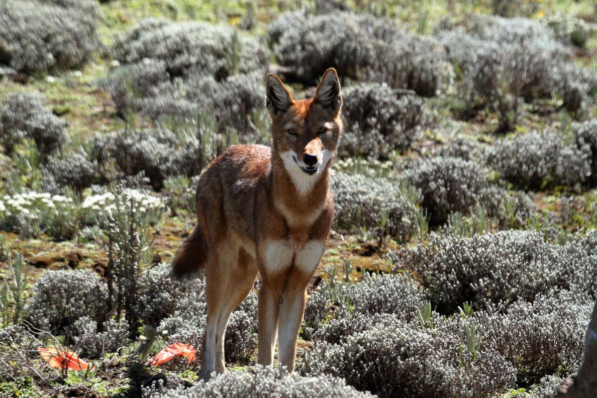 ETH_Ethiopia-Gale-Wolf-©-AdobeStock_143645299.jpg