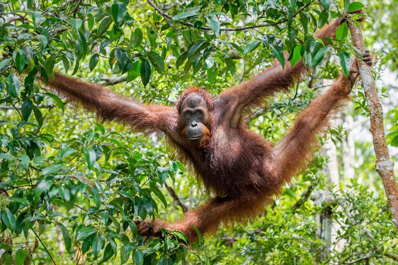 MYS_Borneo-Orangutan-©-Adobe-Stock-001.jpg