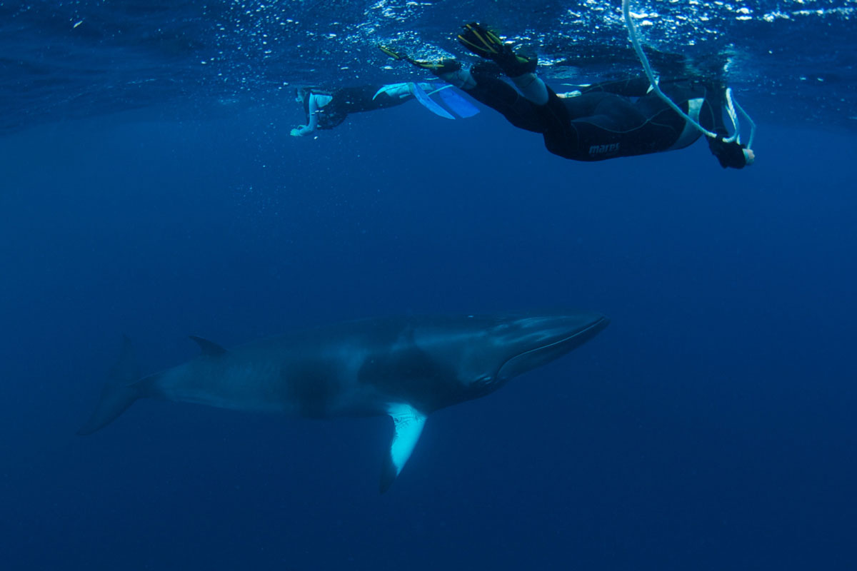 Dwarf Minke Whales - Australia - Wild Earth Expeditions