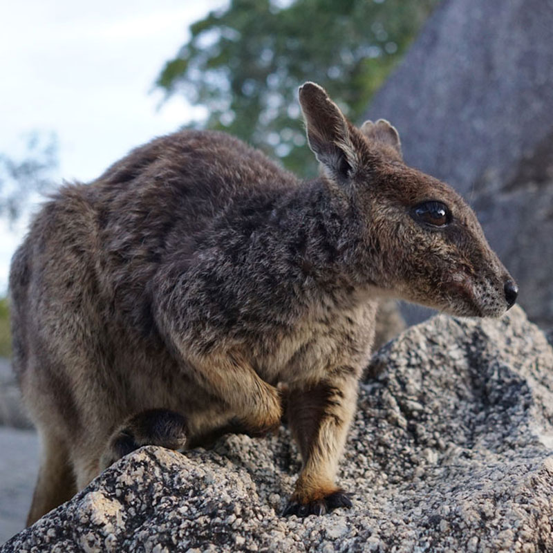 AUS_Granite-Gorge-Mareeba-Rock-Wallabies-©-Natalia-Baechtold-242.jpg
