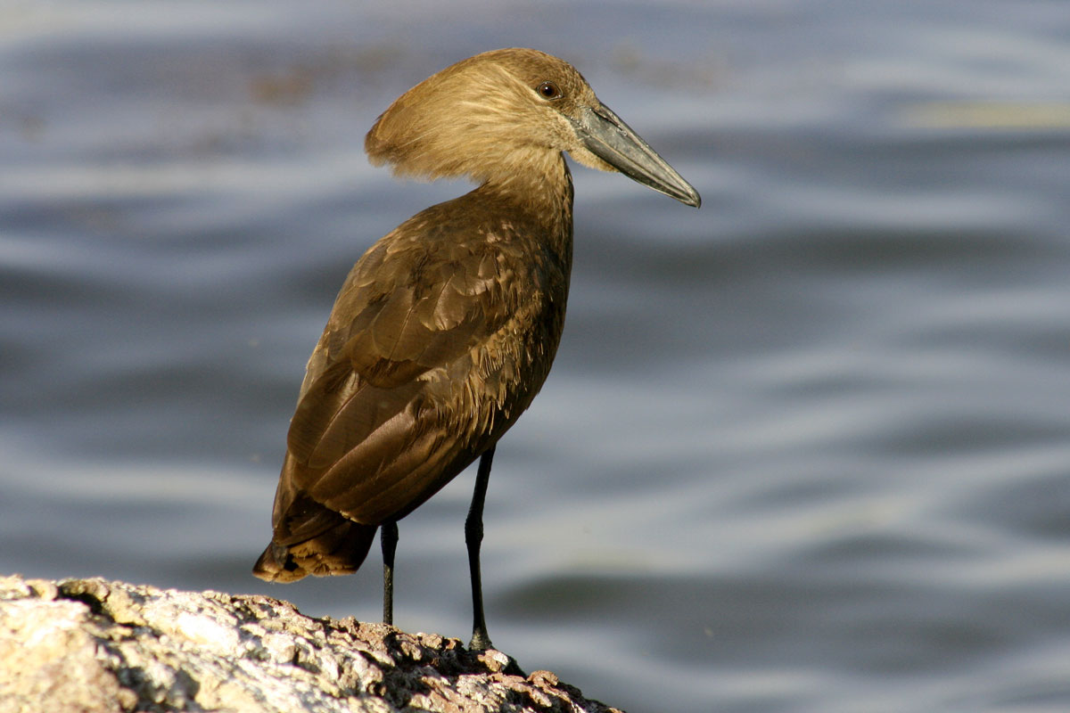 ETH_Birds-Hammerkop-©-Dinkesh-Ethiopia-Tours.jpg