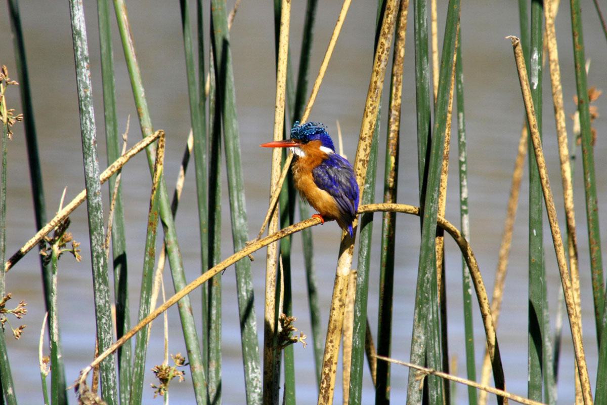 ETH_Birds-Malachite-Kingfisher-©-Dinkesh-Ethiopia-Tours.jpg