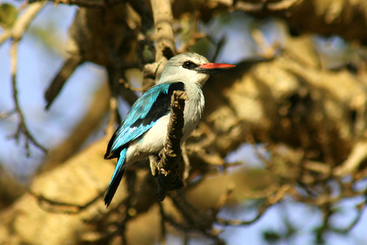 ETH_Birds-Woodland-Kingfisher-©-Dinkesh-Ethiopia-Tours.jpg