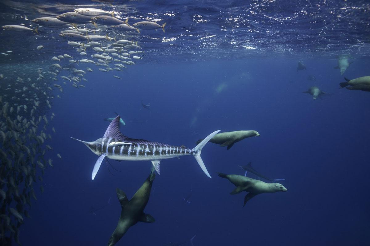 MEX_Baja-Marlin-w-California-Sea-Lions-Hunting-Sardines-©-AdobeStock_247089341.jpg