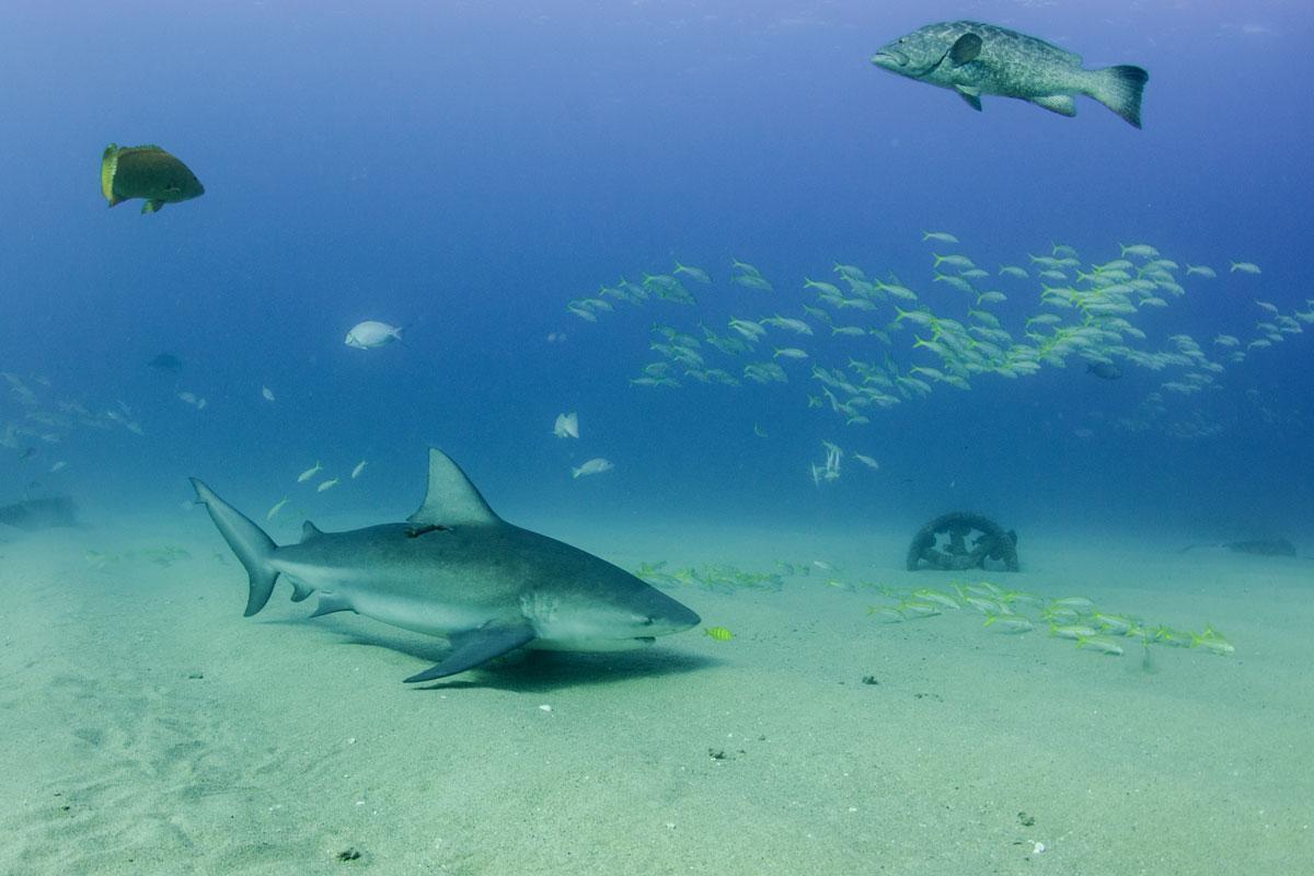 MEX_Caribbean-Bull-Sharks-©-AdobeStock_247960924v1.jpg
