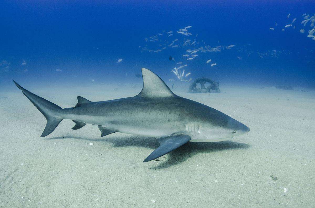 MEX_Caribbean-Bull-Sharks-©-AdobeStock_247961169.jpg