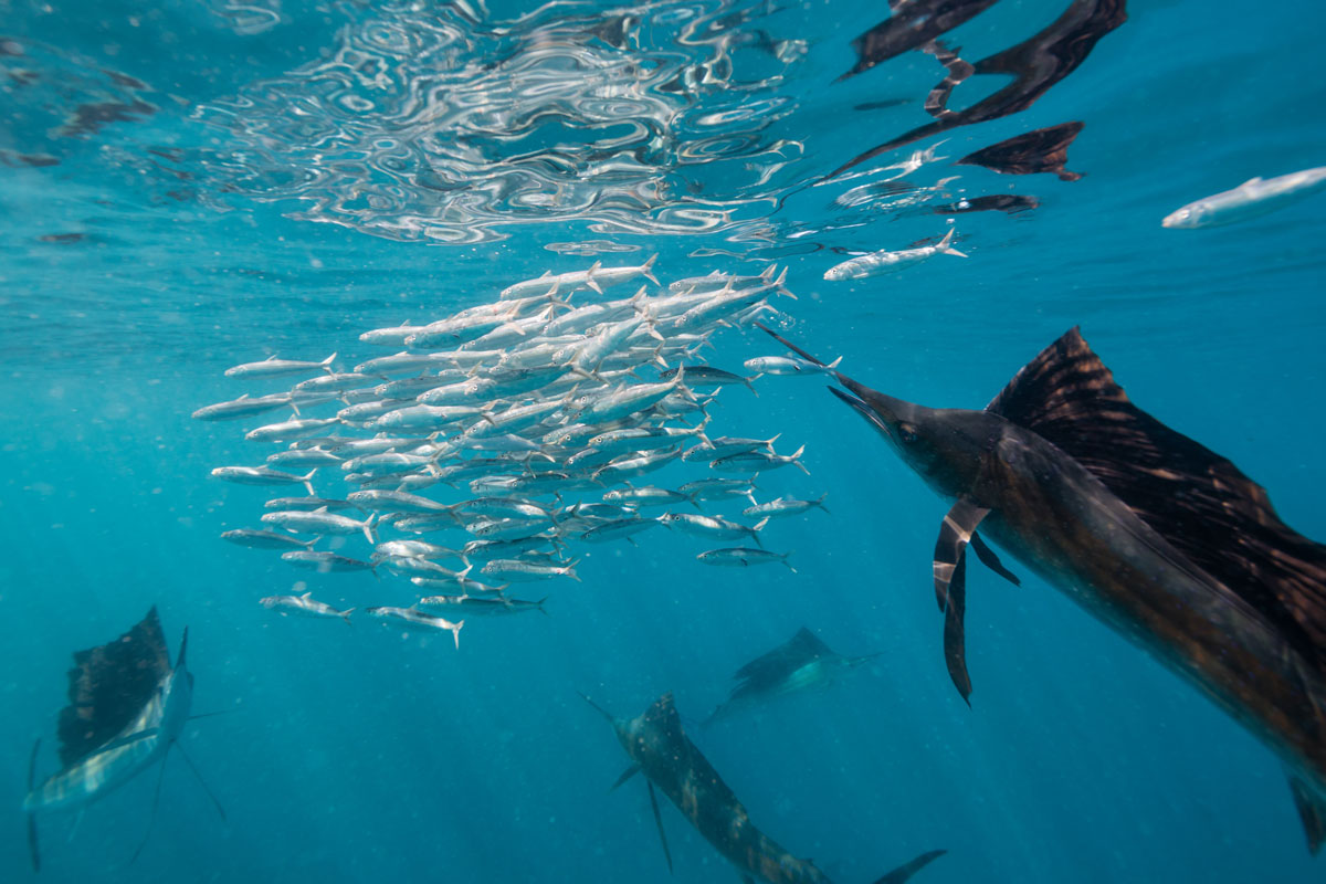 MEX_Cuncun-Sailfish-hunting-Sardines-©-AdobeStock_167333285.jpg