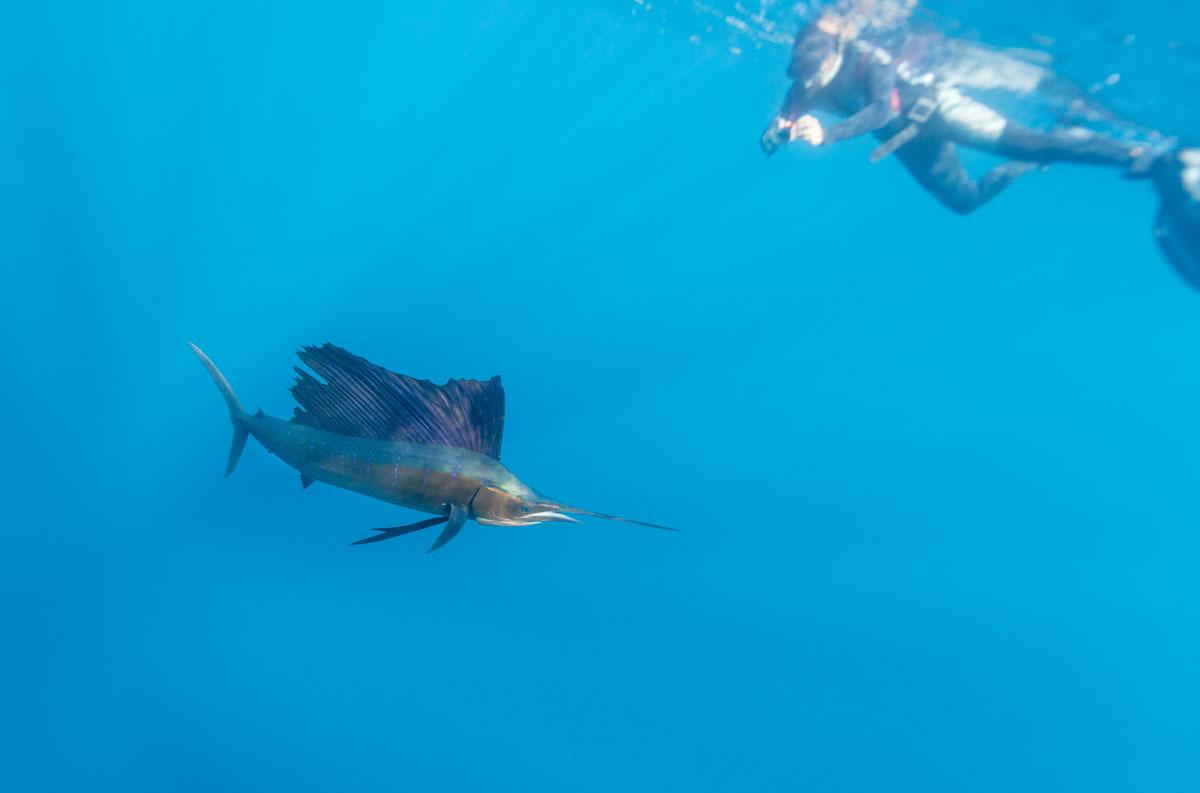MEX_Cuncun-Sailfish-w-Snorkeller-©-AdobeStock_167332670.jpg