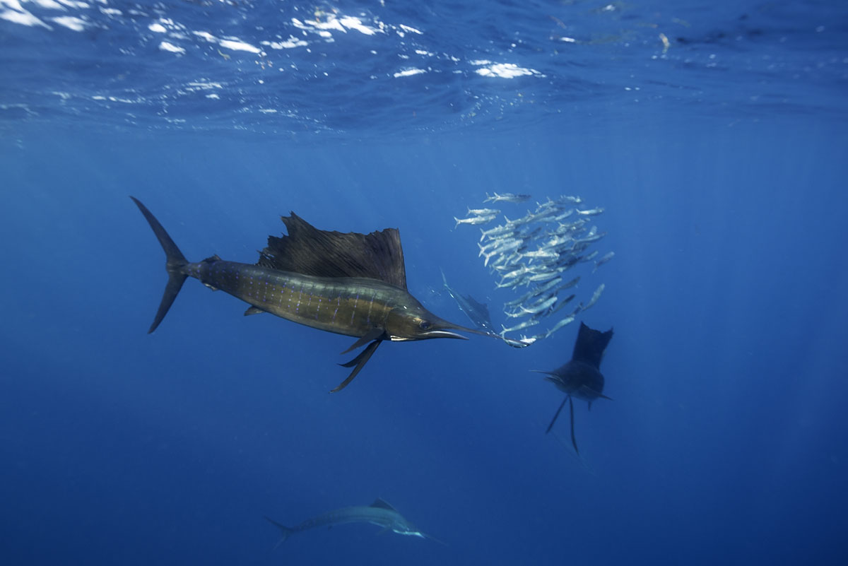 MEX_Mexico-Atlantic-Sailfish-©-AdobeStock_177238127.jpg