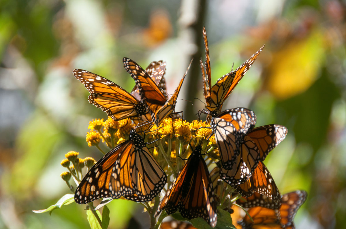 MEX_Monarch-Butterflies-©-AdobeStock_64715465.jpg
