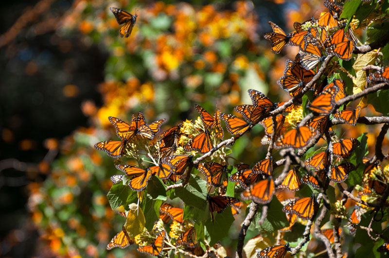 MEX_Monarch-Butterflies-©-AdobeStock_111664605.jpg